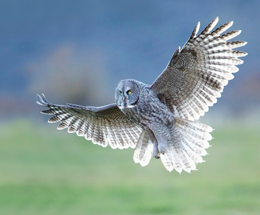 Melissa Groo - Great Gray Owl