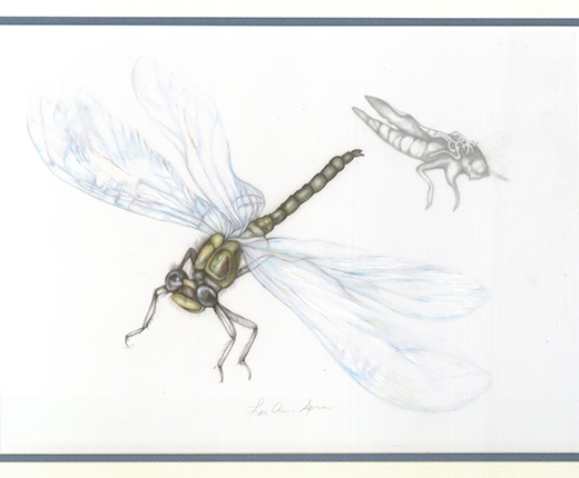 Lee Ann Sporn - Dragonfly, Newly Hatched