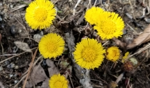 20200414 Coltsfoot Letsonville Rd. 4 14 20