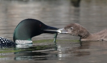 IMG 9798 loon feeds chick minnow Paradox 7 8 18 1