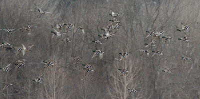 024A1692 Mallards and a black duck in flight Mossy Pt. 1 18 20
